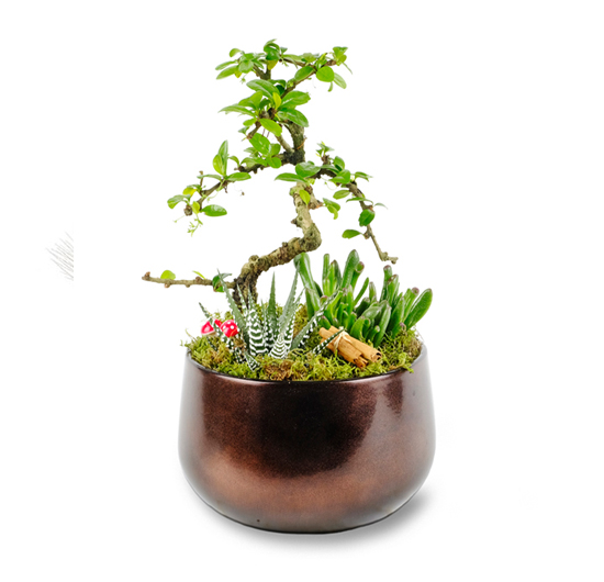 Hobbit Zebrina Bonsai Uyumu