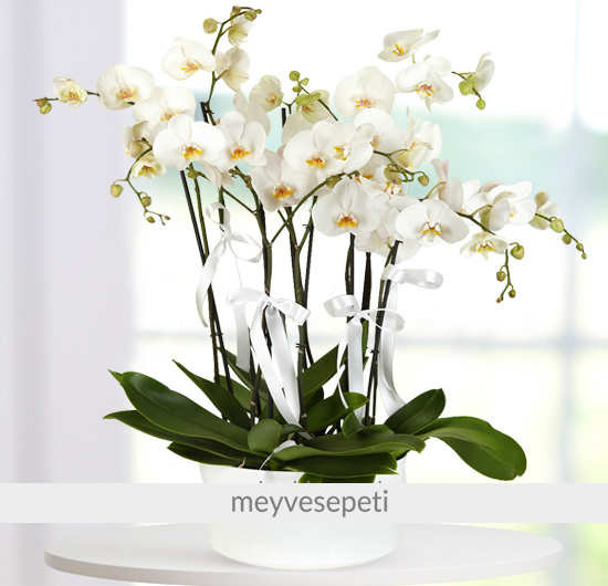 Zarif Kuğu 6 Adet Beyaz Orkide