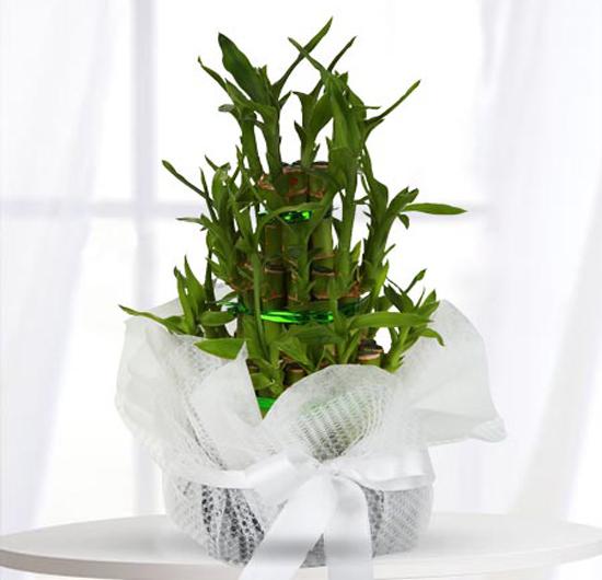 Bambu Saksı Çiçeği