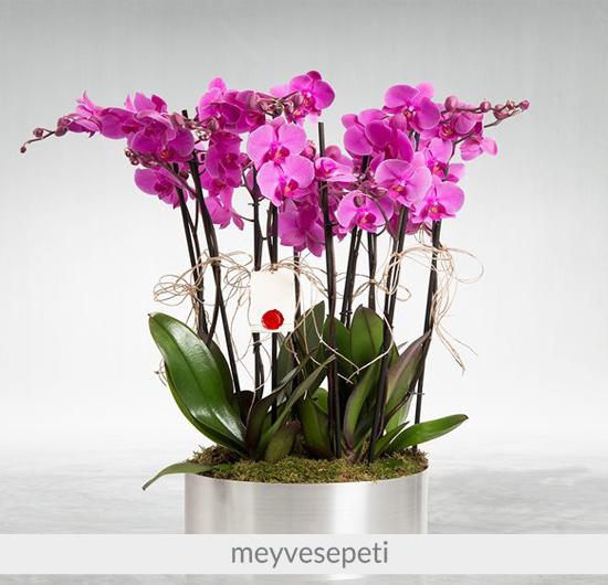 Margherita 10 Dal Mor Orkide